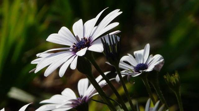 蓝目菊和瓜叶菊的区别