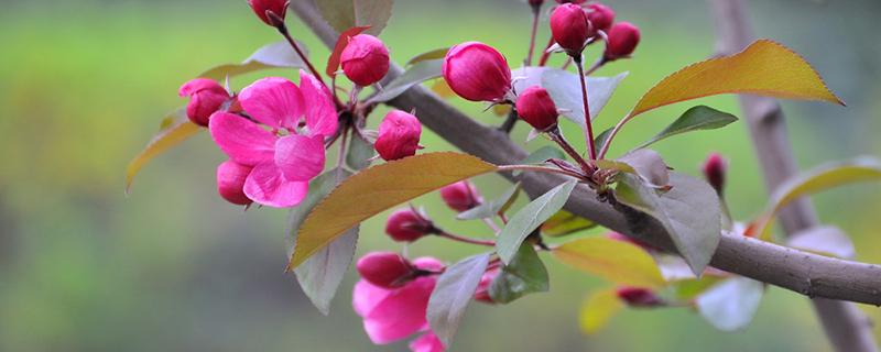 海棠花品种