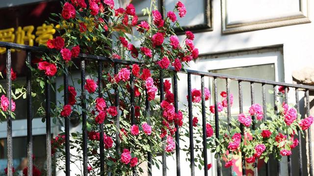 蔷薇的意思