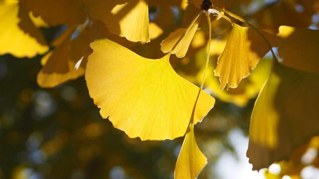 银杏代表什么象征意义