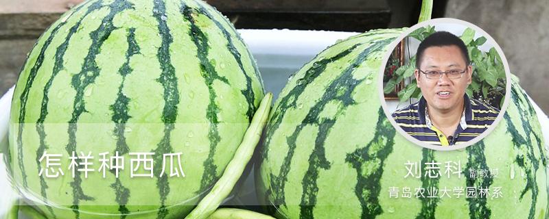 怎样种西瓜