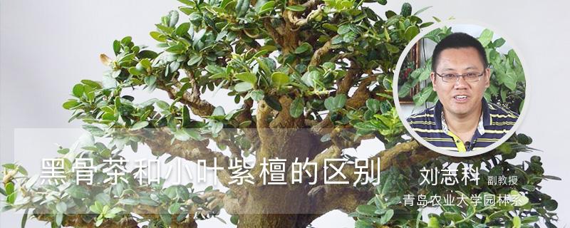 黑骨茶与小叶紫檀区别