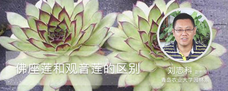 佛座莲和观音莲的区别