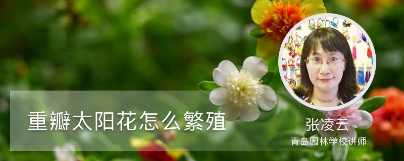 重瓣太阳花怎么繁殖