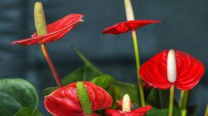 火鹤花的花语是什么_红掌简介,家庭养红掌常见问题大全 - 花百科
