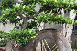 """""""榕树""""也能当盆栽?那当然,还特别好养,摆在家里可有气势了"""