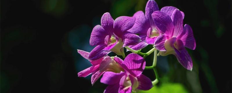 蝴蝶兰花语