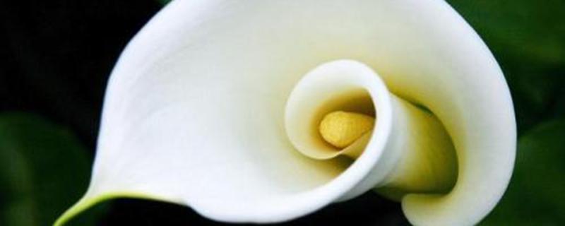 马蹄莲的叶子为什么会黄