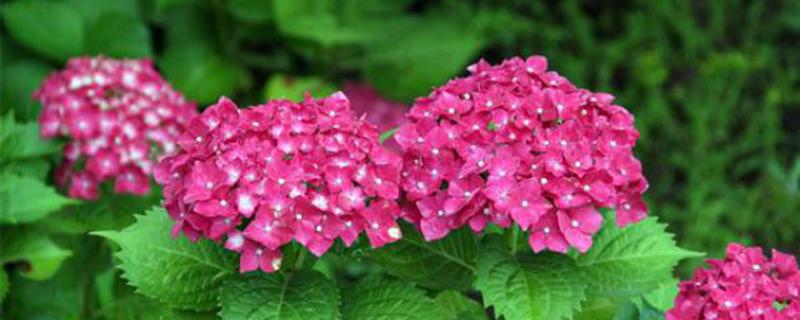 八仙花的养护要点