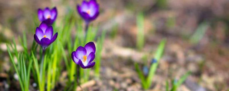 藏红花的繁殖方法