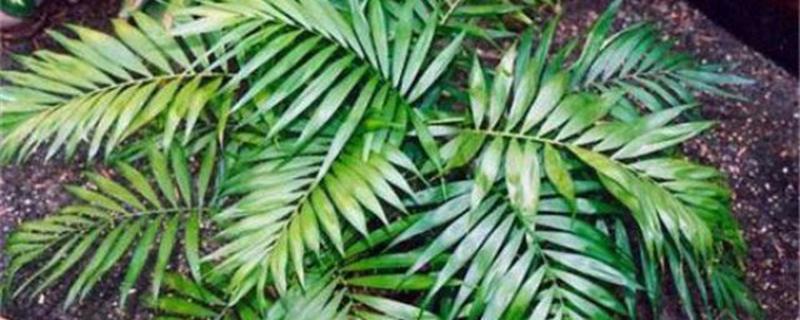 袖珍椰子可以放卧室养吗