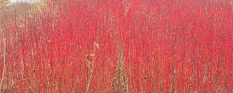 红瑞木的嫩枝扦插方法