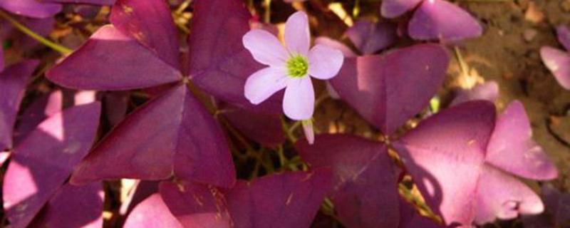 紫叶酢浆草扦插繁殖方法
