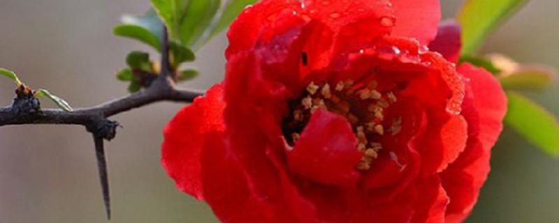 长寿海棠的扦插种植
