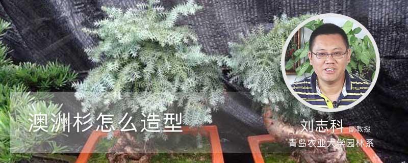 澳洲杉怎么造型