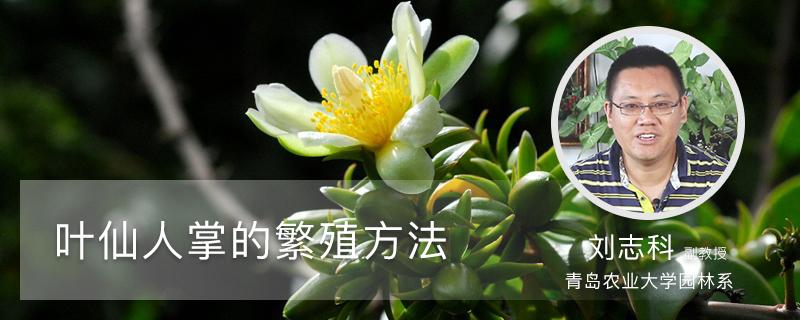 叶仙人掌的繁殖方法