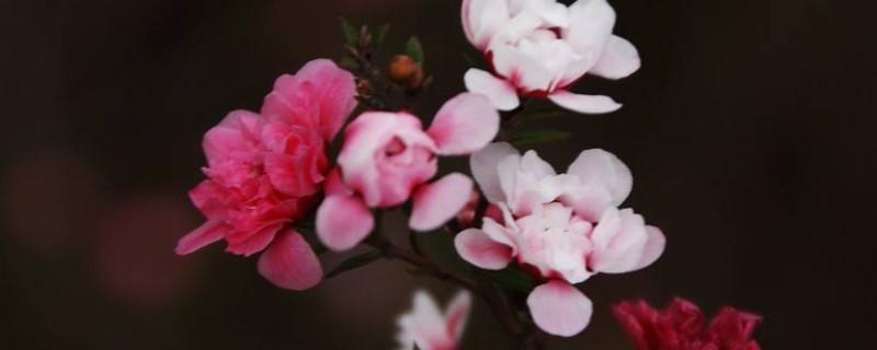 松红梅冬天养殖的禁忌