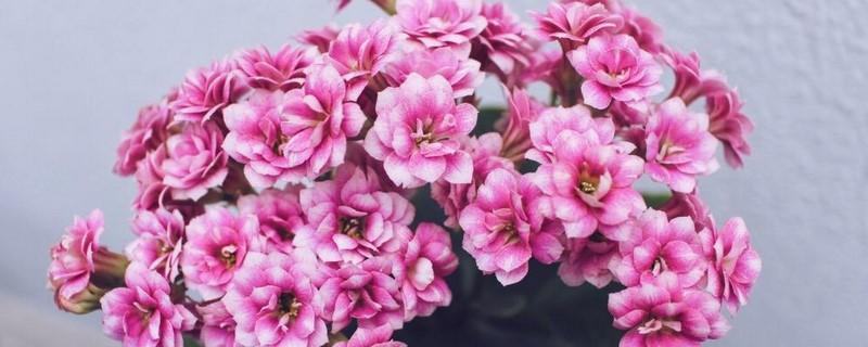 长寿花催花方法