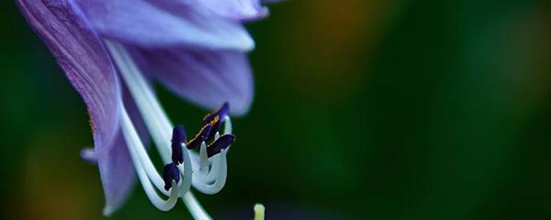 花叶玉簪从根部开始烂是怎么回事