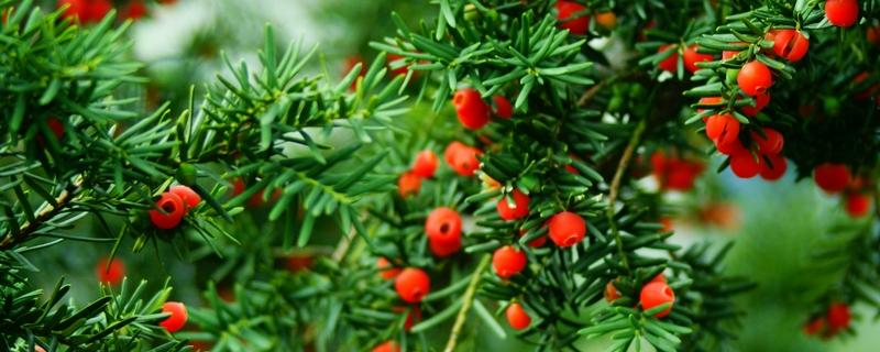 红豆杉怎么授粉