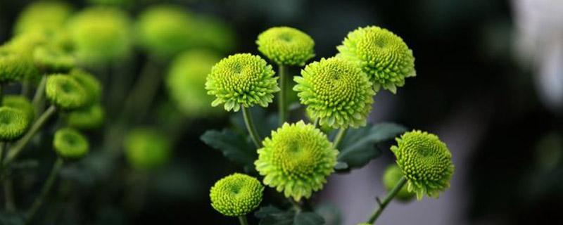 绿色菊花有哪些品种