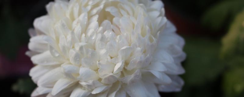 白菊花代表什么意思