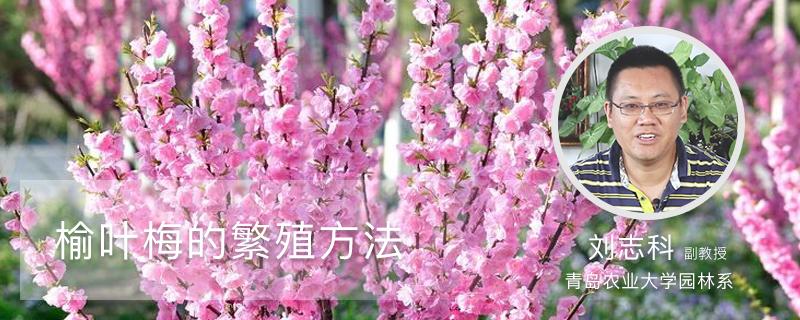 榆叶梅的繁殖方法