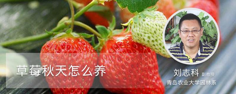 草莓秋天怎么养
