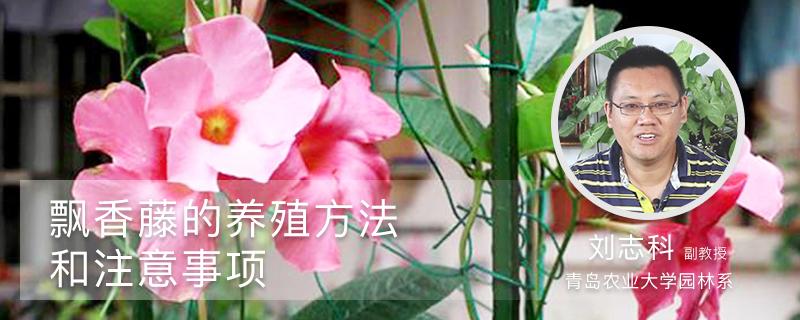 飘香藤的养殖方法和注意事项
