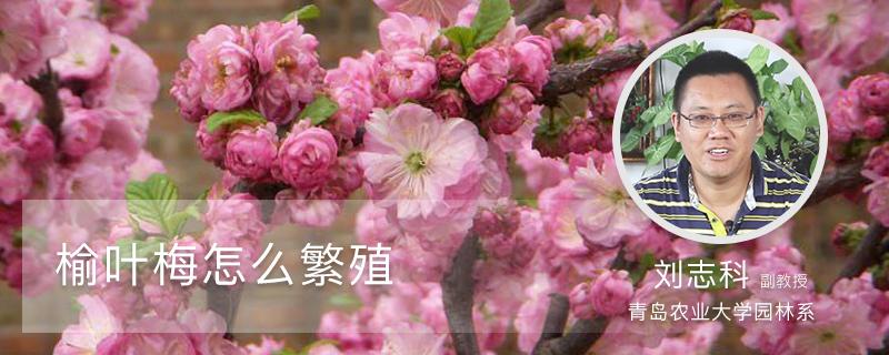 榆叶梅怎么繁殖