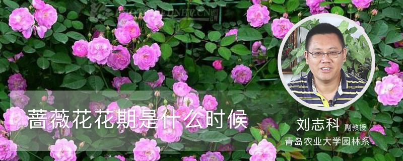 蔷薇花花期是什么时候