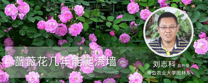 蔷薇花几年能爬满墙