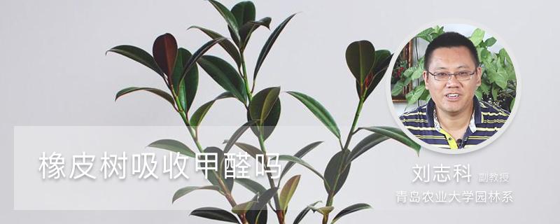 橡皮树吸收甲醛吗