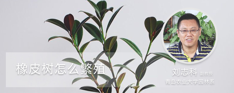 橡皮树怎么繁殖