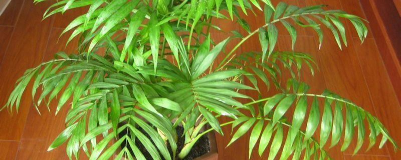 富贵椰子和夏威夷椰子的区别