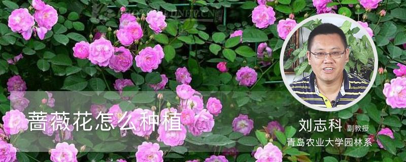 蔷薇花怎么种植