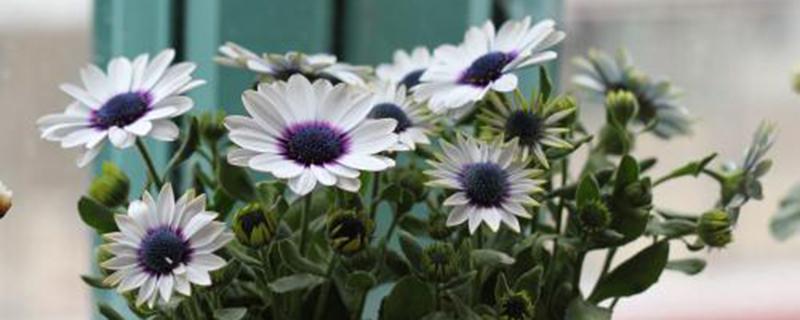 蓝目菊什么时候开花