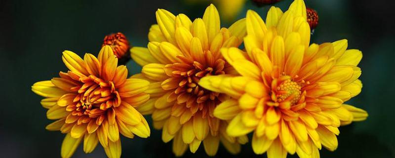 如何使非洲菊在元旦开花