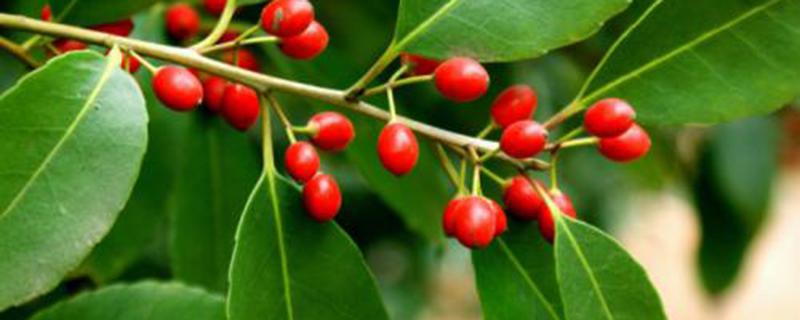 红果冬青盆栽怎么种植