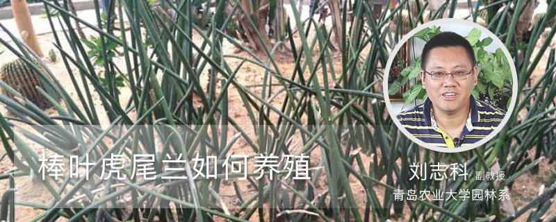 棒叶虎尾兰如何养殖