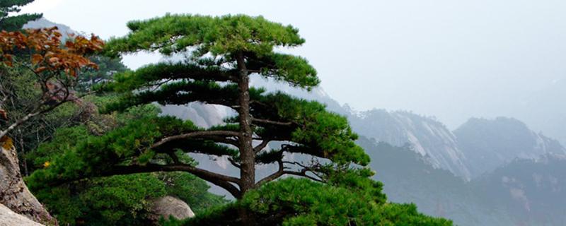 松树亚博在线国际娱乐的风水作用