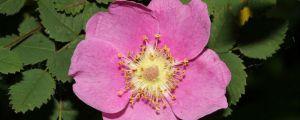 刺蔷薇的病虫害防治