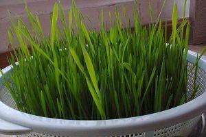 """随手把""""小麦""""扔土里,7天长出苗,炒成菜倍儿好吃!"""