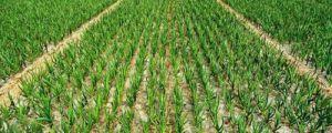 种蒜苗的正确步骤