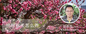 桃树秋天怎么养