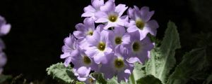 苣叶报春的病虫害防治