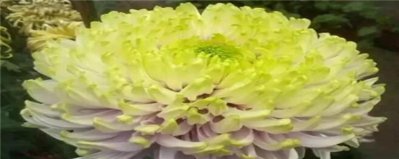菊花花期需要施肥吗