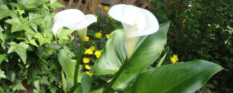 马蹄莲什么时间开花