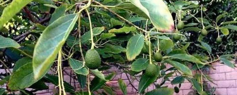 牛油果树盆栽会结果吗,几年能结出果?