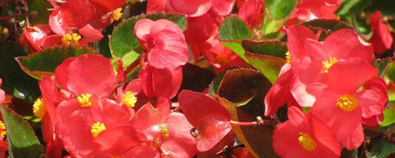 四季海棠掉花怎么办?